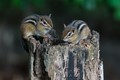 Two Eastern Chipmunks on a stump