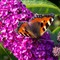 Small tortoiseshell butterfly on buddleia bush