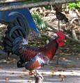 Rooster - Philippine status symbol