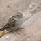 female sparrow, Leipzig zoo: cheeky flock of birds at rest area near small fast food restaurant