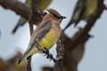 Cedar Waxwing hanging with his buds