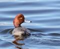 Salton Sea redhead