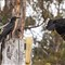 currawong-P4234011