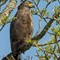 21 feb 2014 kazi crested serpent eagle 3