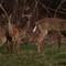 deer 66
