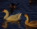 Waterfowl at dusk