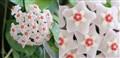 Hoya carnosa crop