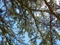 Pine Tree Branches, From Below