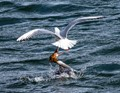 Goosander (common merganser) fighting with a black-headed gull. Lake of Garlate, N Italy.