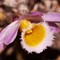 DSC0997724-10-15: Dendrobium orchid flower