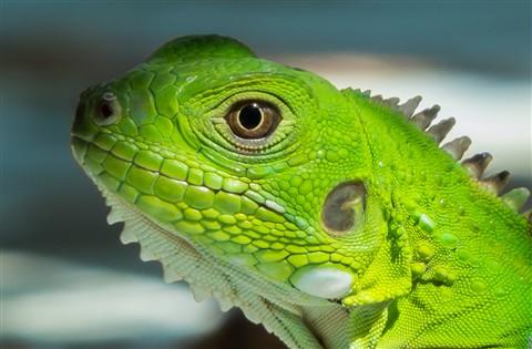 Green Iguana juvenile