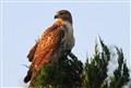 Hawk hunting @ dawn
