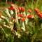 red tipped lichen 3