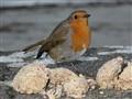 Robin At Narin Beach