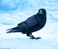 In Iceland on a glacier walk. This raven landed right next to me to eat a boiled egg embedded in the ice.