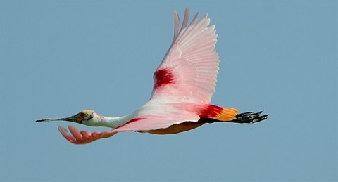Spoonbill side view