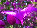 Bougainvillea with Bokeh