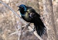 Common Grackle calling for a mate.