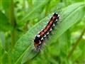 Swan caterpillar