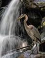 Heron at Falls