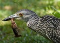 Crawfish on the half-shell…Night Heron