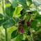 Rose_Beetles