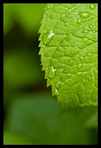 Leaf Study - Hydrangea-1 small