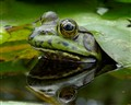 Mr Green Frog