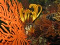 Elegant Feather Star and Sea Fan