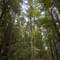 Big Basin Redwood