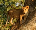 Young Lion Climbing A Tree