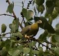 Spring time,yellow footed green pegion,Salt lake park,Kolkata,India.