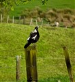 Morning Magpie