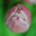 Tulip_7067