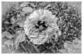 Flower_B&W