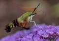 Busy Hummingbird Moth!