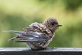A young Eastern Bluebird just after a bath