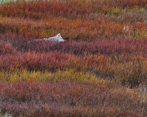 Hiding Wolf 2010 1683