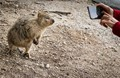 This is a Quokka .