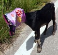 a goat that was too fond of chips...