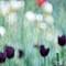 Tulips à la Monet