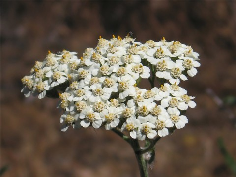 white_flower_filt