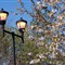 Lights with Spring blossom