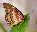 Capo Indiano Butterfly
