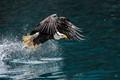 eagle snagging fish in lagoon near homer alaska