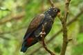 Bronze-capped Parrot