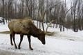 Caribou in Omega Park, Montebello, Québec