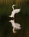 Egret Drops In