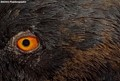EYE OF THE PIGEON