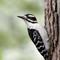 Downy Woodpecker 1 Origwk1_MG_1459